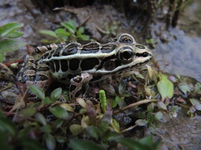 A frog, Richter farm, Susquehanna County, Pennsylvania, 13 September 2009