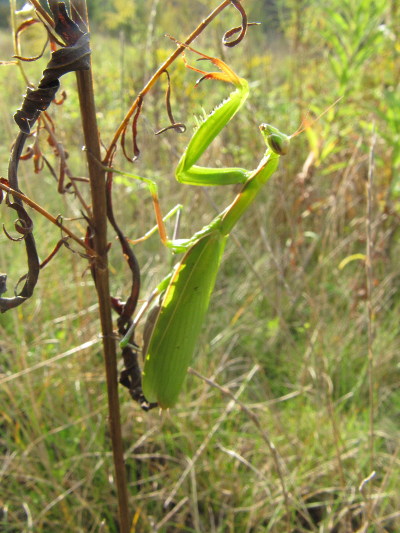 Praying mantis, Franklin Hill, Montrose, Pennsylvania, 24 September 2011