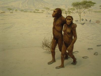 Australopithecus afarensis depicted in the Laetoli footprints diorama at the Natural History Museum, New York