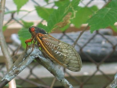 Seventeen-year cicada posed on the chain-link fence in the back yard, Mount Pleasant, Washington, D.C., circa June 2004